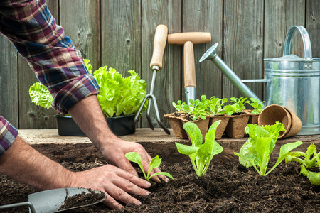 Photo pour Farmer planting young seedlings of lettuce salad in the vegetable garden - image libre de droit