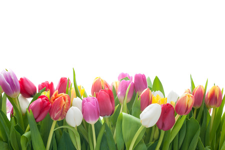 Photo for Spring tulips flowers on the white background - Royalty Free Image