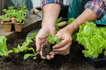 Foto de Farmer planting young seedlings of lettuce salad in the vegetable garden - Imagen libre de derechos