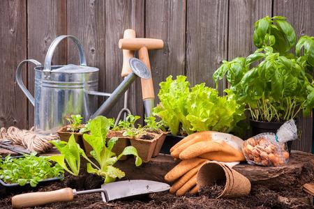 Foto de Seedlings of lettuce with gardening tools outside the potting shed - Imagen libre de derechos