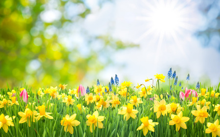 Photo for Spring Easter background with beautiful yellow daffodils - Royalty Free Image