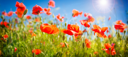 Photo pour Poppy flowers field. Nature spring background with blooming poppies over blue sky. Rural landscape with red wildflowers - image libre de droit
