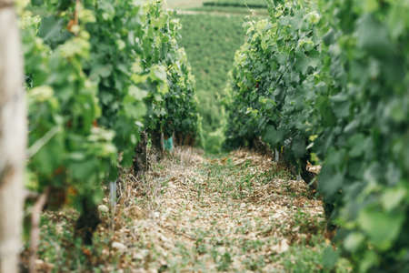 Photo pour A young grape bush, between the bushes the ground is strewed with chips, winemaking in France, space for text - image libre de droit