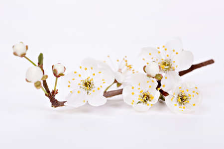 Spring blossom flowers on white background