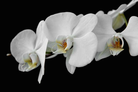 Photo for Horizontal shot of the branch of white orchid isolated on black background. - Royalty Free Image