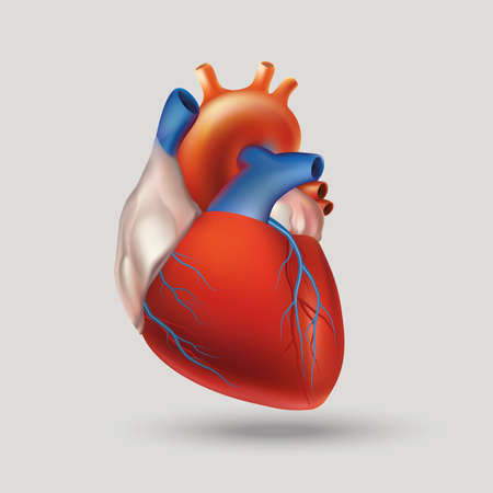 Ilustración de Conditional image of a model of the human heart (hollow muscular organ that pumps the blood through the circulatory system by rhythmic contraction and dilation). Light background. - Imagen libre de derechos