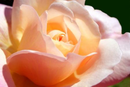 Closeup of a Peachy Pink Rose