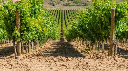 Photo pour Vineyard in Ribera del Duero, Burgos, Castile and Leon, Spain - image libre de droit