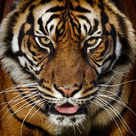 Photo for A tiger close-up frotal view portrait. - Royalty Free Image
