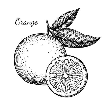 Illustration pour Ink sketch of orange. Isolated on white background. Hand drawn vector illustration. Retro style. - image libre de droit