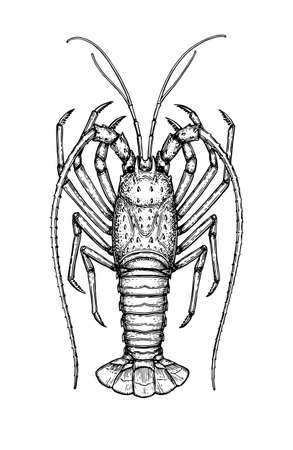 Illustration for Ink sketch of spiny lobster. Isolated on white background hand drawn vector illustration retro style. - Royalty Free Image