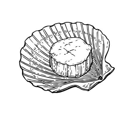 Illustration pour Scallops ink sketch. Isolated on white background hand drawn vector illustration retro style. - image libre de droit
