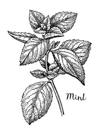 Illustration pour Ink sketch of mint. Isolated on white background. Hand drawn vector illustration. Retro style. - image libre de droit