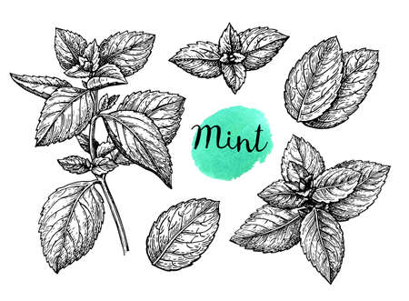 Illustration for Retro style ink sketch of mint. Isolated on white background. Hand drawn vector illustration. - Royalty Free Image