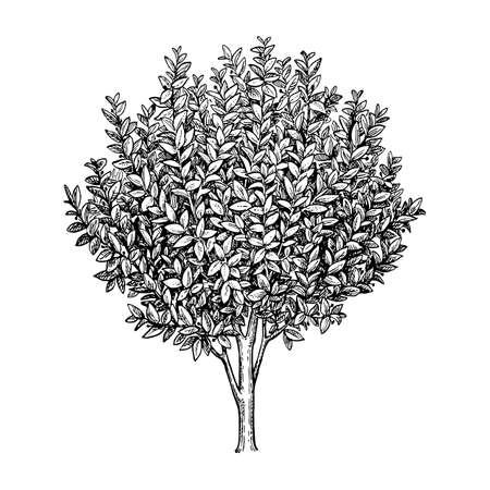 Illustration for Bay laurel tree illustration. - Royalty Free Image