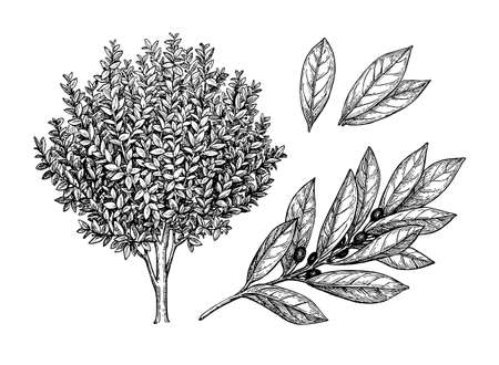 Illustration for Bay laurel tree, branch and leaves. - Royalty Free Image