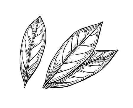 Illustration pour Bay leaves ink sketch - image libre de droit