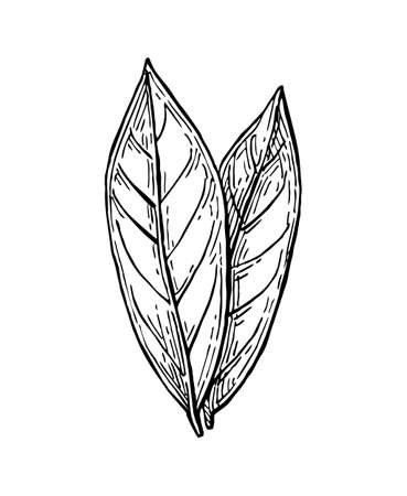 Illustration pour Bay leaves ink sketch. Isolated on white background. Hand drawn vector illustration. Retro style. - image libre de droit