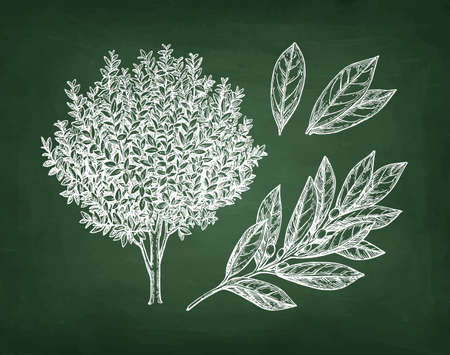 Illustration pour Bay laurel tree, branch and leaves, Hand drawn, Chalk sketch on blackboard background. - image libre de droit