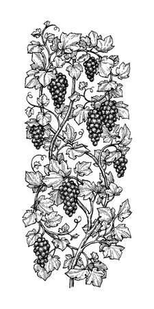 Illustration pour Hand drawn vector illustration of grapes. - image libre de droit