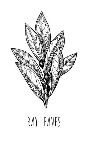 Illustration pour Ink sketch of bay leaves. - image libre de droit