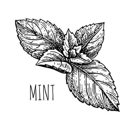 Ilustración de Ink sketch of mint. - Imagen libre de derechos
