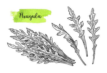 Ilustración de Ink sketch of arugula. Isolated on white background. Hand drawn vector illustration. Retro style. - Imagen libre de derechos