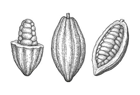 Illustration pour Cocoa fruits. Ink sketch isolated on white background. Hand drawn vector illustration. Retro style. - image libre de droit