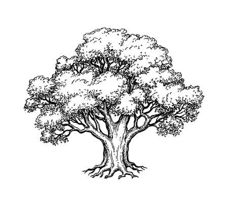 Illustration for Ink sketch of oak tree. Hand drawn vector illustration isolated on white background. Retro style. - Royalty Free Image