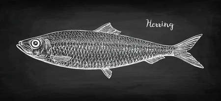 Illustration for Chalk sketch of herring on blackboard background. Hand drawn vector illustration. Retro style. - Royalty Free Image