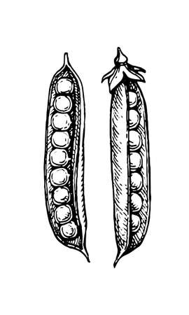 Illustration for Ink sketch of pea. Isolated on white background. Hand drawn vector illustration. Retro style. - Royalty Free Image
