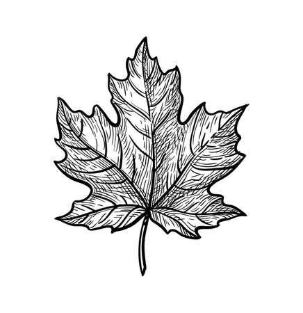 Illustration for Ink sketch of maple leaf. - Royalty Free Image