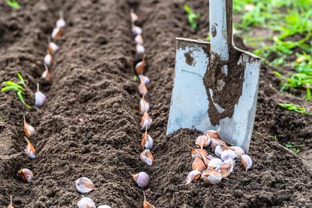 Foto de Planting garlic in the vegetable garden. Autumn gardening. - Imagen libre de derechos