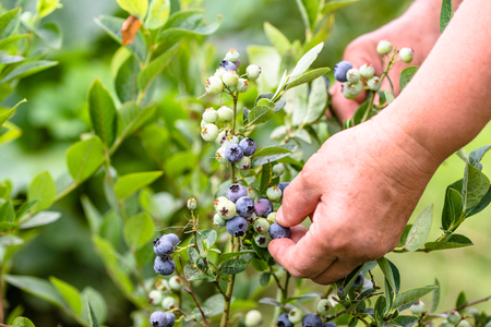 Photo for Woman picking blueberries, close-up of hands and berries growing on the bushes, seasonal blueberry harvest - Royalty Free Image
