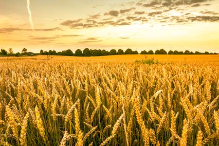 Foto de Golden wheat field, landscape of agricultural grain crops and sunset sky, panoramic vista - Imagen libre de derechos