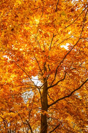 Photo for Beautiful autumn tree. - Royalty Free Image