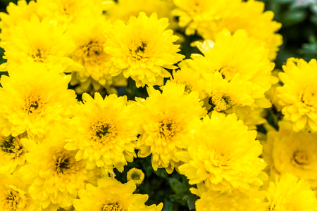 Photo pour Background with autumn flowers, bouquet of yellow chrysanthemum - image libre de droit
