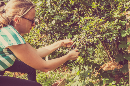 Photo pour Woman picking blueberries from big bushes of american blueberry - image libre de droit