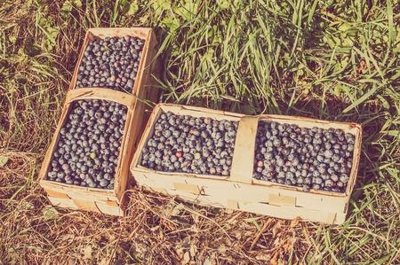 Photo pour Fresh blueberries collected to the basket in harvest season - image libre de droit