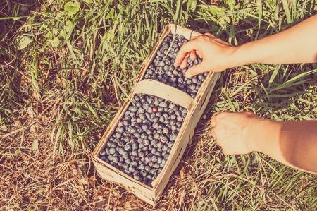 Photo pour Woman picking blueberries to the basket - image libre de droit