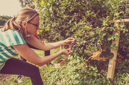 Photo pour Vintage photo of woman picking blueberries from big bushes of american blueberry - image libre de droit