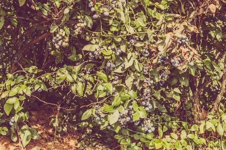 Photo pour Bushes of american blueberries with fruits on branches, vintage photo. - image libre de droit