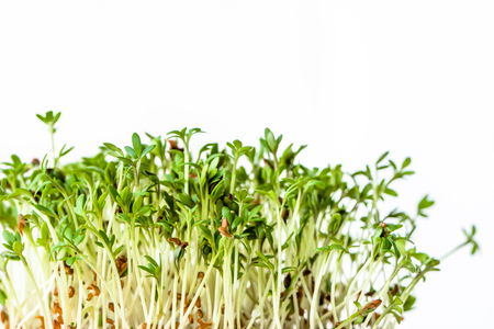 Photo for Fresh micro greens, seed sprouts for salad, healthy diet and clean eating concept - Royalty Free Image