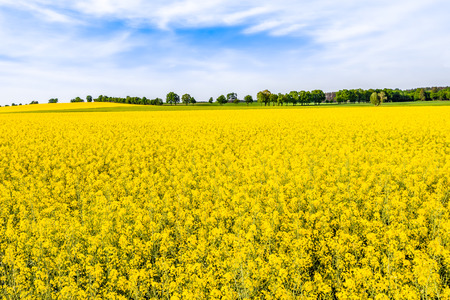 Foto de Blooming rapeseed fields with yellow flowers, field of rape, landscape - Imagen libre de derechos