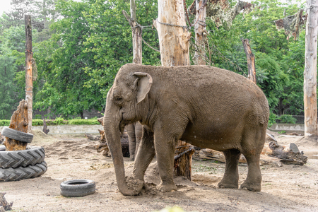Photo for Indian elephant in zoo, animal in captivity - Royalty Free Image