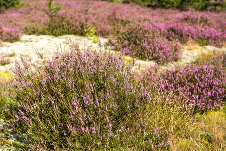 Photo for Field of heather flowers, close-up in the forest - Royalty Free Image