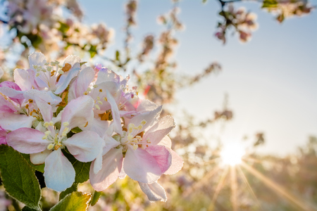 Photo pour Apple blossom, spring flower in sunlight - image libre de droit