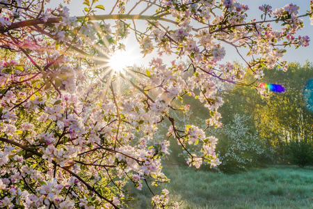 Photo for Japan garden with spring cherry blossoms, branch with sun shining through flowers - Royalty Free Image