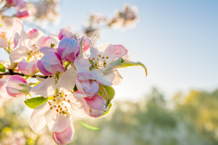 Photo pour Pink blossom in sunlight. Zen garden with spring blossoming apple branch, blur background - image libre de droit