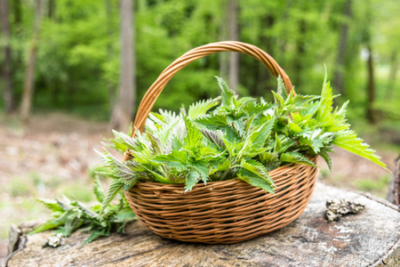 Photo for Common nettle harvest. Basket with green fresh young nettles. Spring season of harvesting herbs. - Royalty Free Image